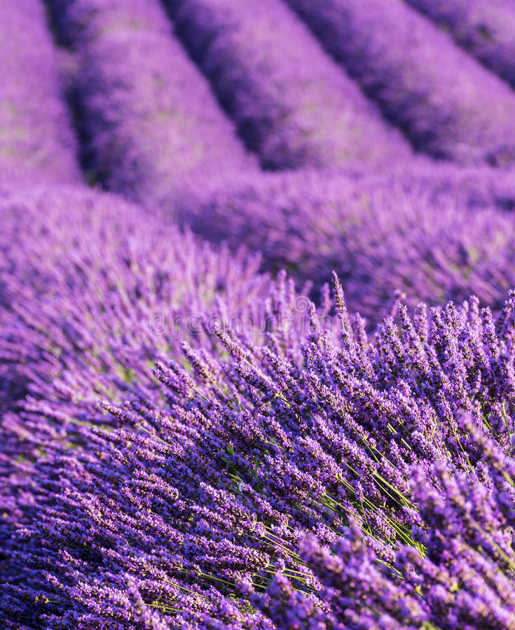 Lavender ανθίζει τις σειρές τομέων, κατακόρυφος, Προβηγκία, Γαλλία στοκ φωτογραφίες με δικαίωμα ελεύθερης χρήσης