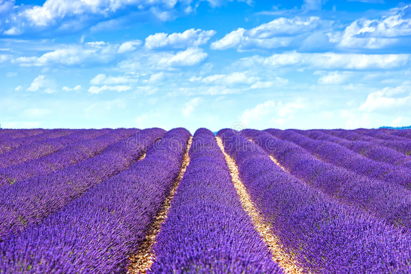 Lavender ατελείωτες σειρές τομέων λουλουδιών ανθίζοντας. Valensole Προβηγκία στοκ εικόνες