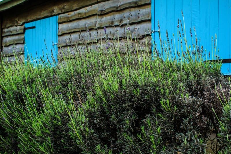 Lavender και ζωή στοκ φωτογραφία με δικαίωμα ελεύθερης χρήσης