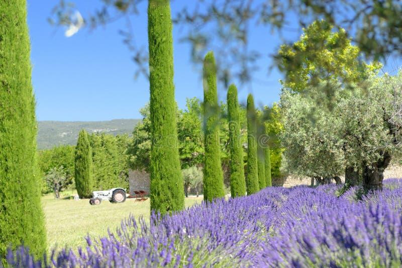 Lavender και κυπαρισσιών δέντρα στοκ εικόνες με δικαίωμα ελεύθερης χρήσης