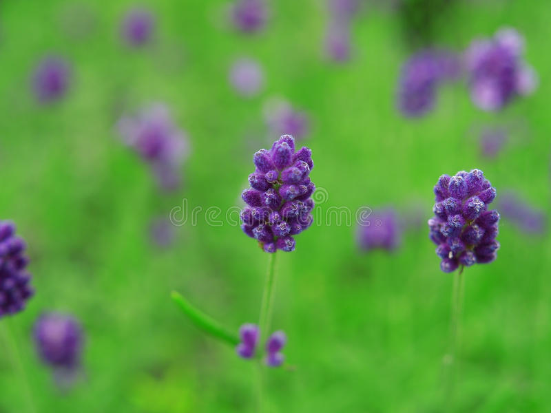 lavender καλλιεργήσιμου εδάφ&omic στοκ εικόνα