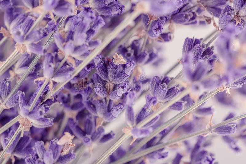 Lavender κινηματογραφήσεων σε πρώτο πλάνο λουλούδια στοκ φωτογραφίες με δικαίωμα ελεύθερης χρήσης