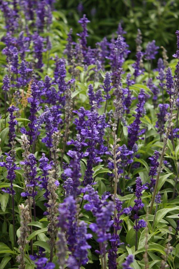 Lavender λουλούδια που θολώνονται στοκ εικόνα με δικαίωμα ελεύθερης χρήσης