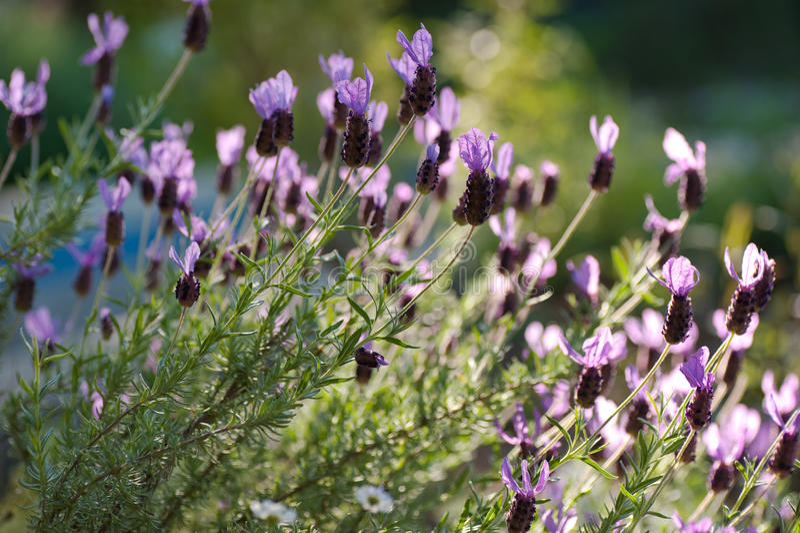 lavender μάζας ισπανική ηλιοφάνε&iot στοκ εικόνες