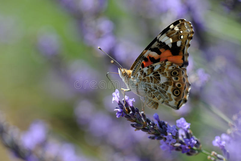 lavender ναυάρχων κόκκινο στοκ εικόνα