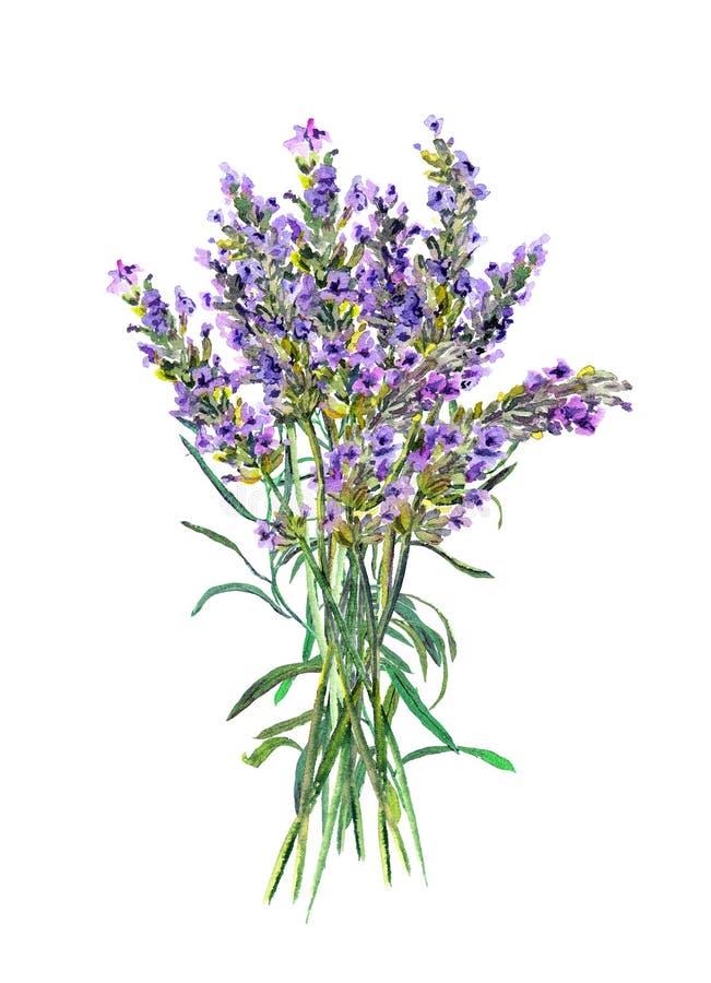 lavender λουλουδιών Ιατρικό χορτάρι Watercolor διανυσματική απεικόνιση