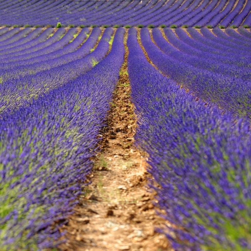 lavender λουλουδιών σειρές στοκ φωτογραφίες με δικαίωμα ελεύθερης χρήσης