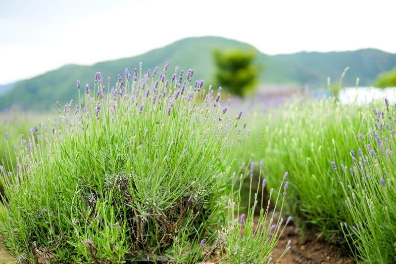 Lavender λουλούδι με την πράσινη χλόη στοκ φωτογραφίες