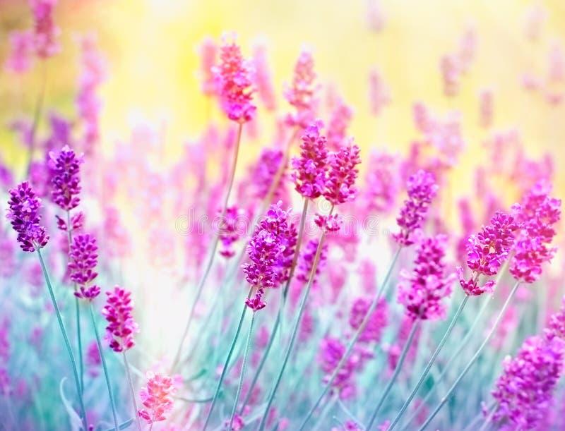 Lavender λουλούδι στοκ εικόνα