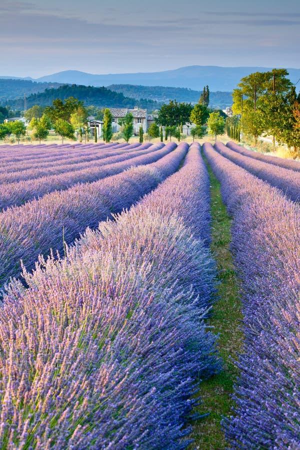 Lavender πεδίο στην Προβηγκία στοκ εικόνες