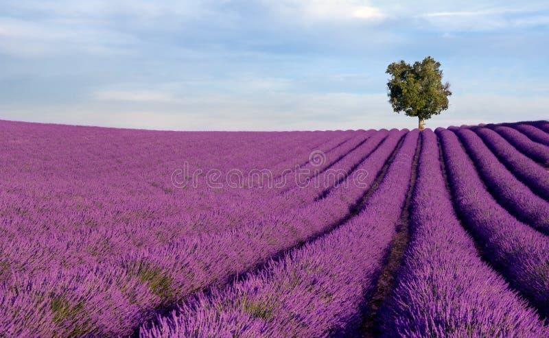 lavender πεδίων απομονωμένο πλού&si