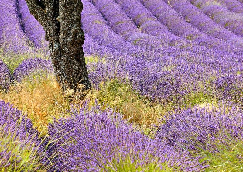 lavender πεδίων στοκ εικόνα με δικαίωμα ελεύθερης χρήσης