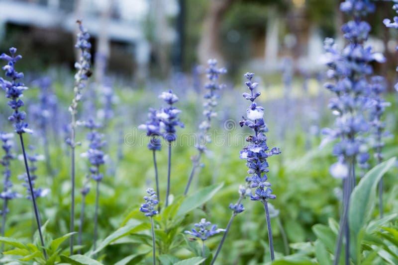Lavender πορφυρός κήπος τομέων ανθών λουλουδιών όμορφος φυσικός ανασκόπησης στοκ φωτογραφία
