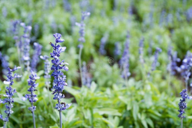 Lavender πορφυρός κήπος τομέων ανθών λουλουδιών όμορφος φυσικός ανασκόπησης στοκ φωτογραφία με δικαίωμα ελεύθερης χρήσης