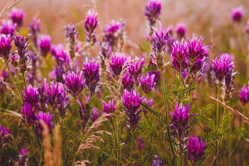 Lavender πορφυρό χρώμα λουλουδιών φύσης τομέων λουλουδιών στοκ εικόνες