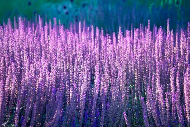 Lavender που ανθίζει στον τομέα στοκ φωτογραφία με δικαίωμα ελεύθερης χρήσης