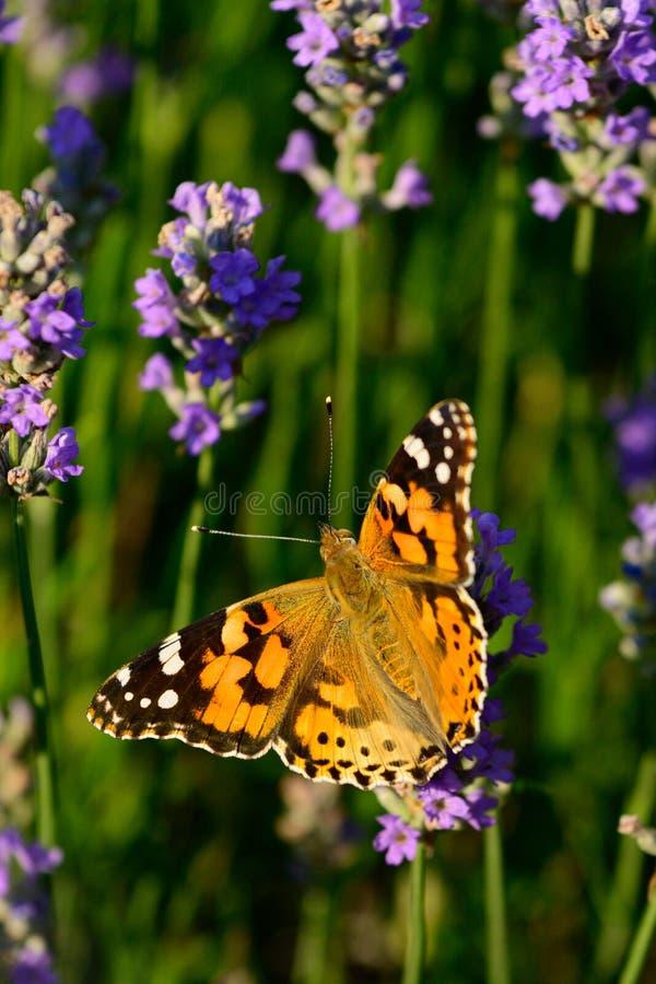 Lavender τομέας λουλουδιών με τη χρωματισμένη γυναικεία πεταλούδα στοκ εικόνες