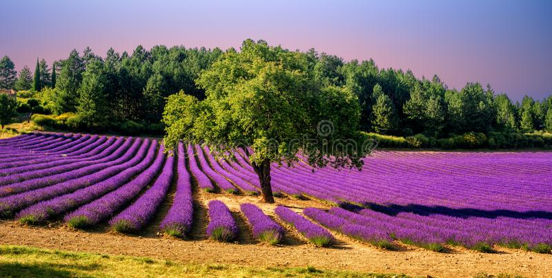 Lavender τομέας με ένα δέντρο στην Προβηγκία, Γαλλία, στο ηλιοβασίλεμα στοκ εικόνα
