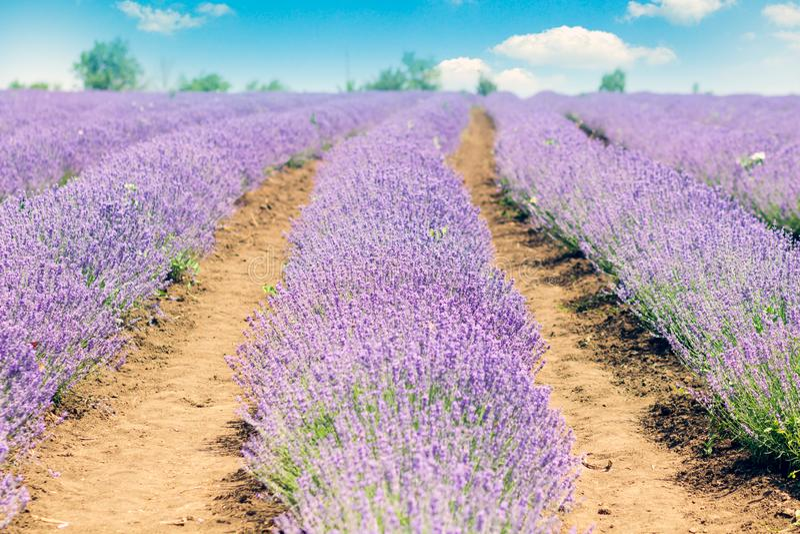 Lavender τομείς Γραφική κοιλάδα Valensole στην Προβηγκία με τις ιώδεις σειρές των λουλουδιών lavanda στοκ φωτογραφίες