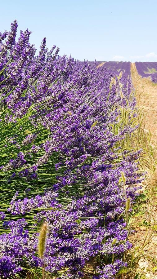 Lavender τομείς ερείκης το καλοκαίρι στοκ εικόνα