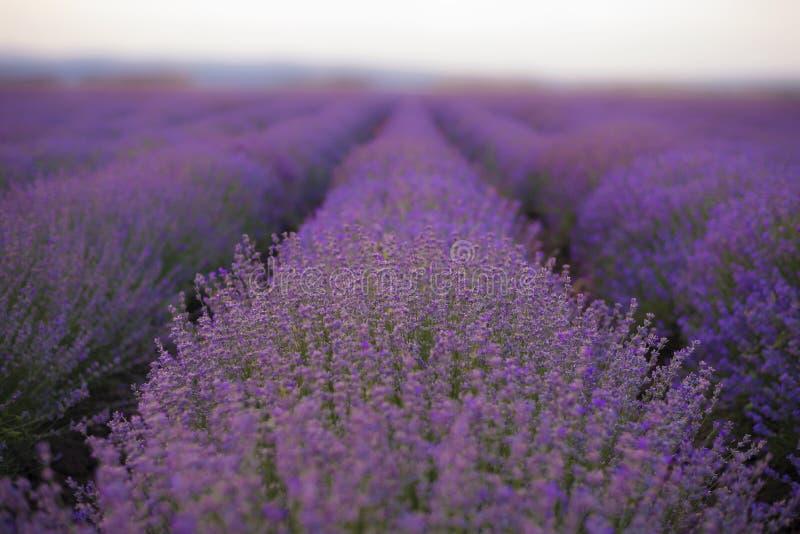 Lavender τομείς Σειρές Lavender της άνθησης εγκαταστάσεων στοκ φωτογραφία