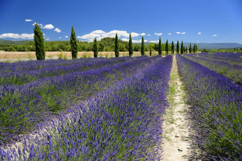 Lavender τομείς στην Προβηγκία στοκ φωτογραφία