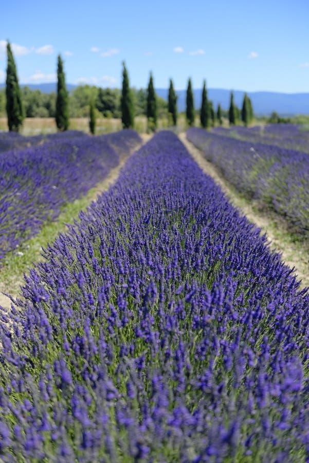 Lavender τομείς στην Προβηγκία στοκ φωτογραφίες
