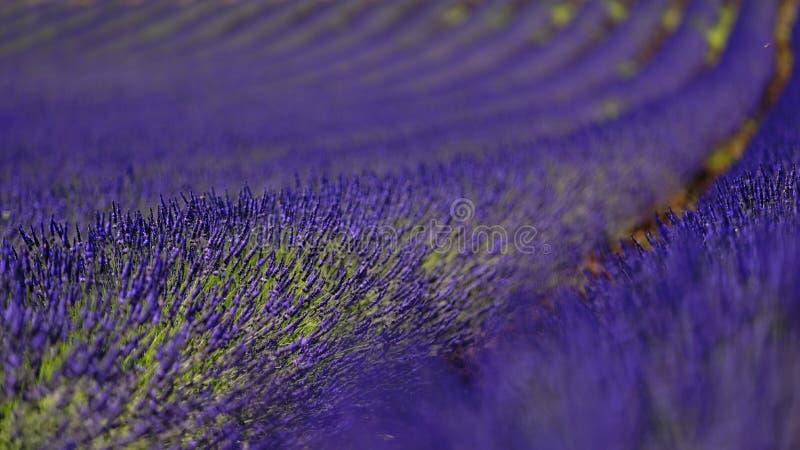 Lavender τομείς στοκ φωτογραφίες