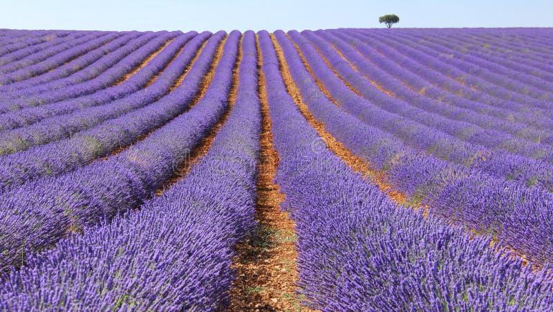 Lavender τομείς στοκ εικόνα