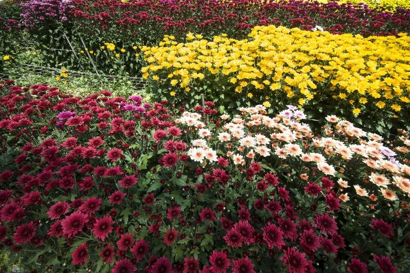 Lavender Χάιλαντς του Cameron κήπος στοκ εικόνες με δικαίωμα ελεύθερης χρήσης