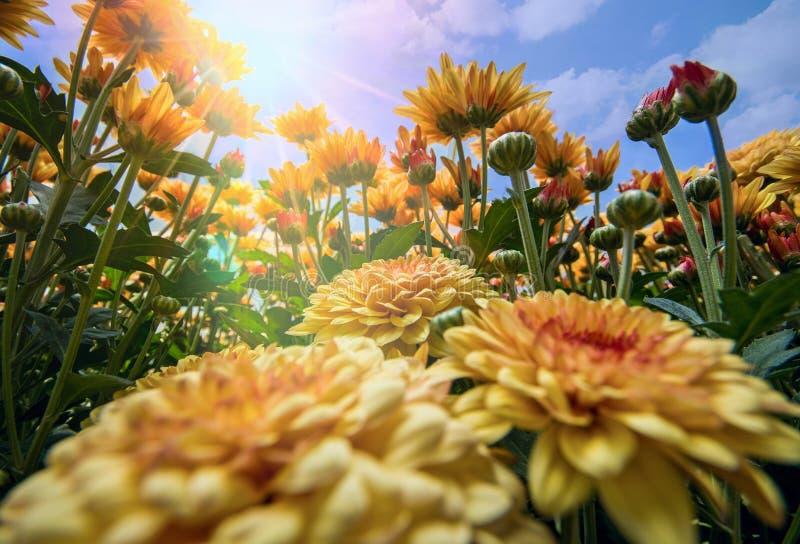 Lavender Χάιλαντς του Cameron κήπος στοκ φωτογραφίες