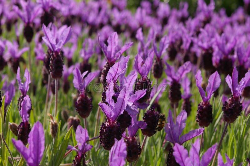 Lavender 02 stock image