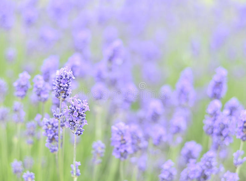 Download Lavender stock photo. Image of fragrant, aroma, herb - 10002530
