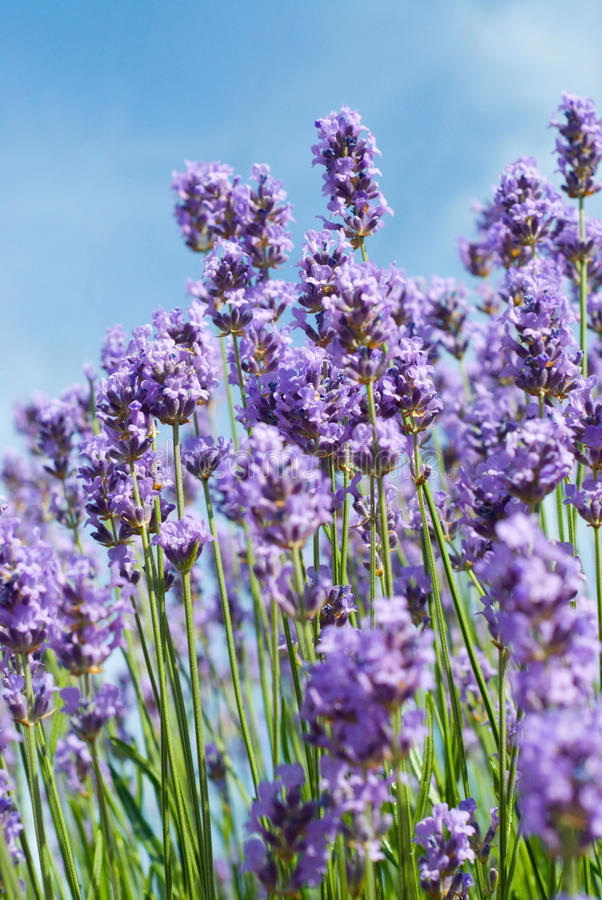 Free Lavender Stock Photography - 10367492