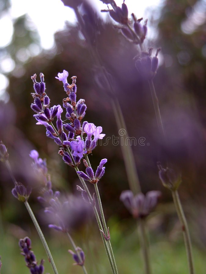 Download Lavender stock image. Image of flowers, natural, blue, perfume - 107815