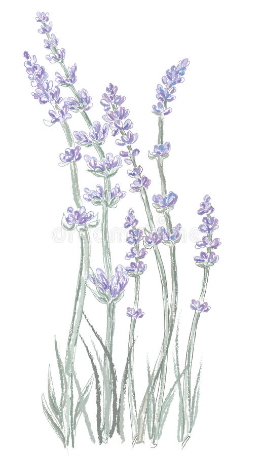 Free Lavender Stock Photography - 11276032