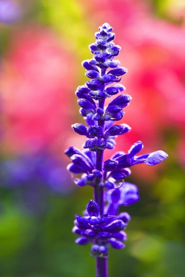 Free Lavender Royalty Free Stock Photo - 14637505