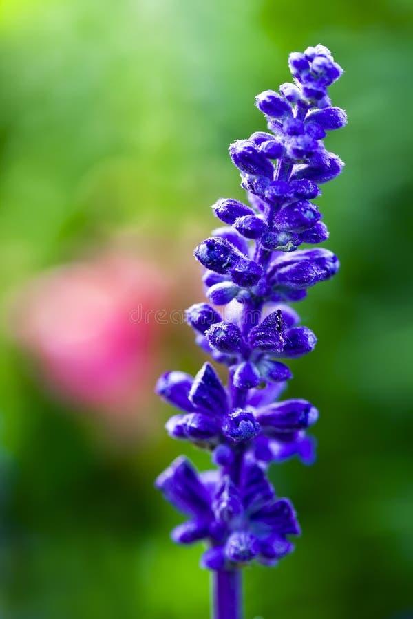 Free Lavender Royalty Free Stock Image - 14638436