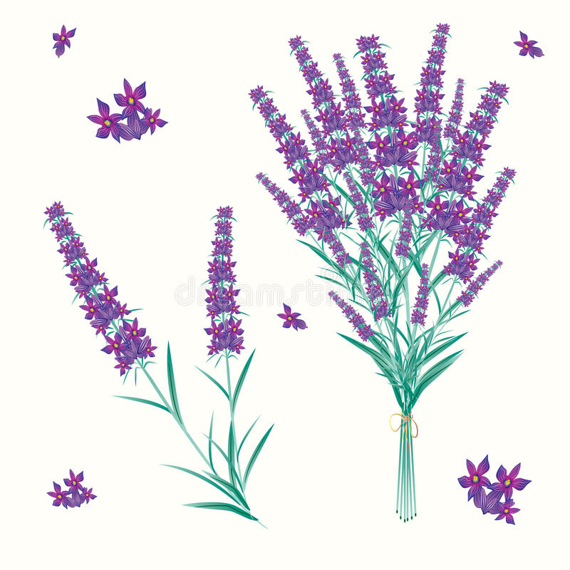 Download Lavender stock vector. Image of aromatic, petal, pampering - 16591503