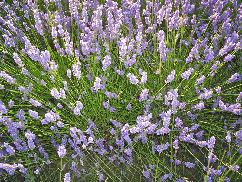 Download Lavender stock image. Image of flowers, france, plant, perfume - 170951