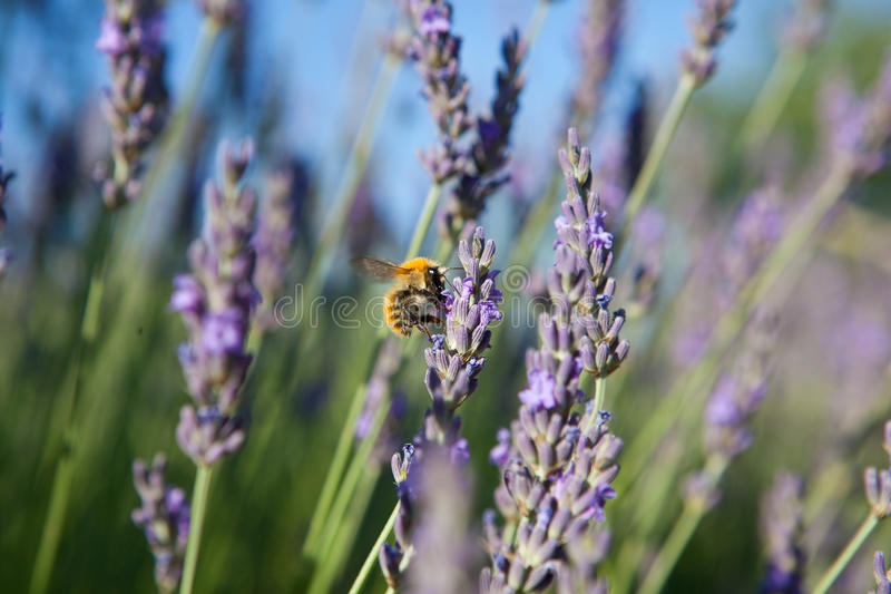 Download Lavender Royalty Free Stock Photography - Image: 17401847