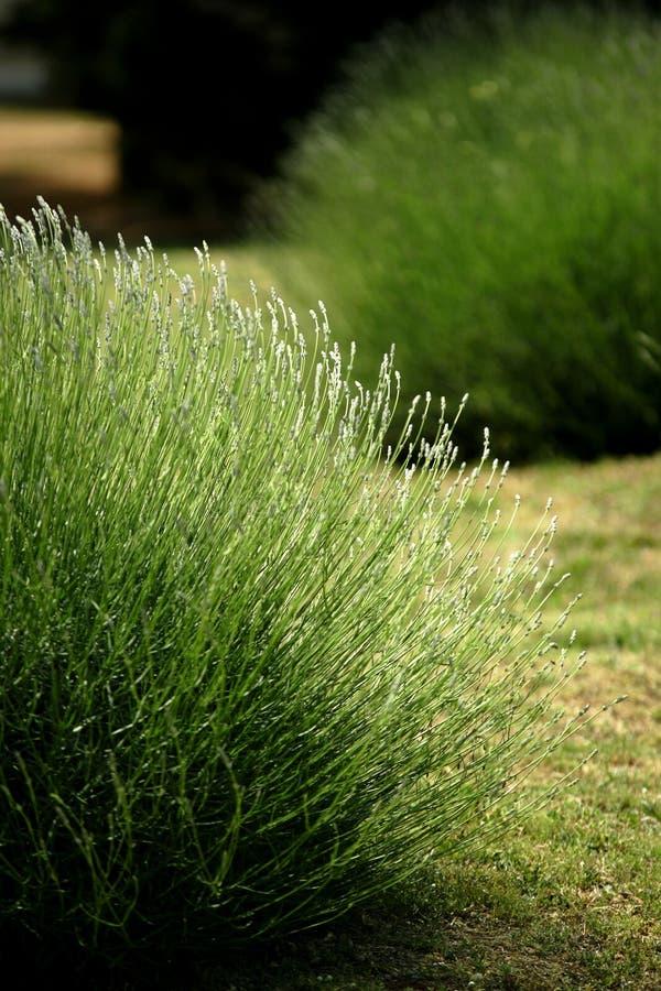 Download Lavender stock photo. Image of botanical, filed, floral - 2466334