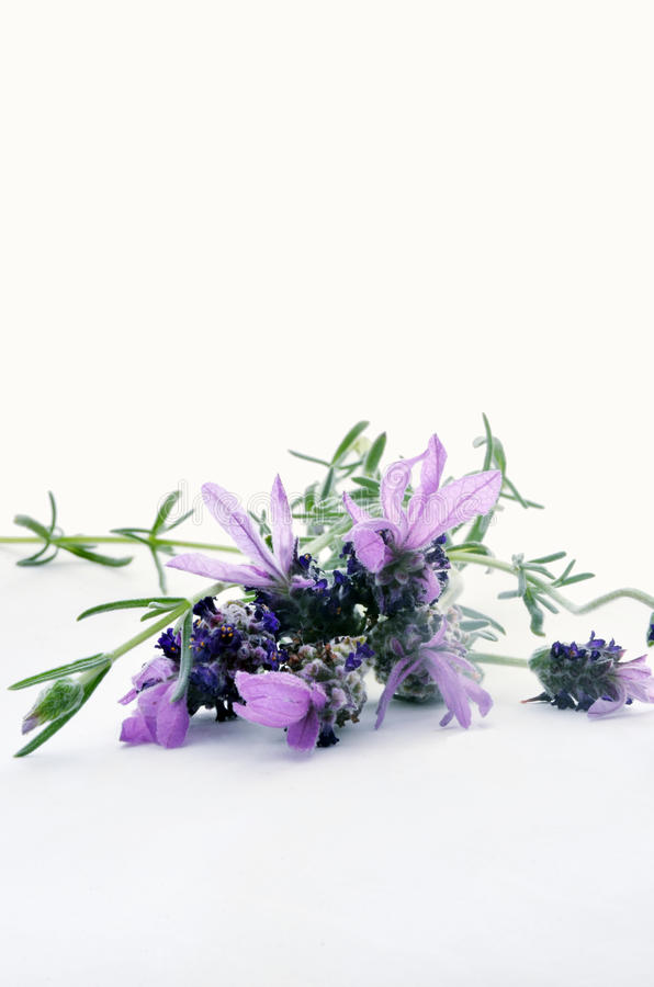 Download Lavender stock image. Image of relaxation, beauty, fragrance - 25422653