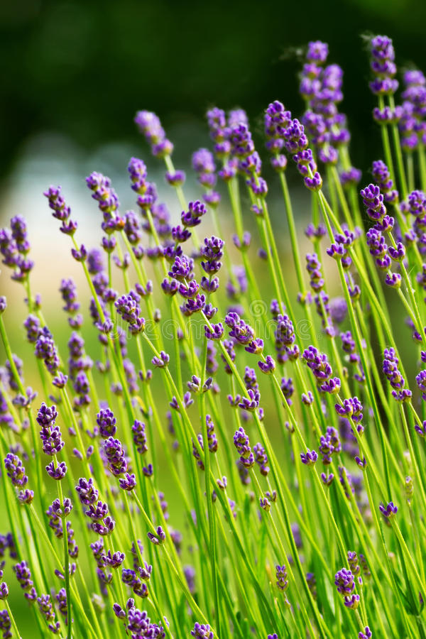 Free Lavender Royalty Free Stock Photos - 25429598