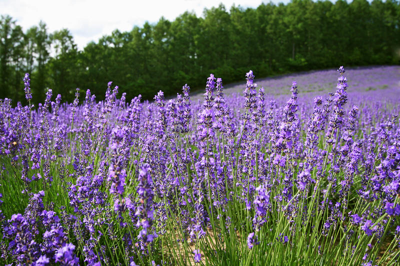 Download Lavender stock photo. Image of field, japan, tree, flower - 26807142