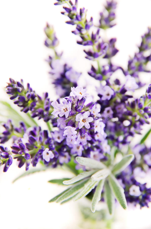 Download Lavender stock photo. Image of body, care, hair, plant - 26962636