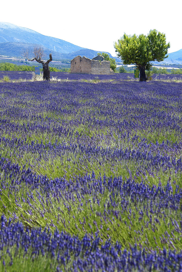Download Lavender stock photo. Image of blue, provence, cultivation - 2789922