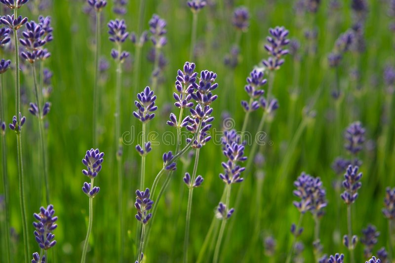 Download Lavender stock photo. Image of field, aromatic, wild, spring - 317686