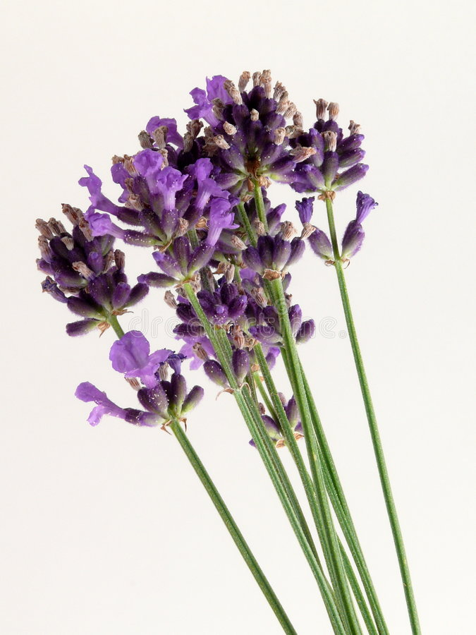 Download Lavender stock image. Image of angustifolia, blue, provence - 5697823