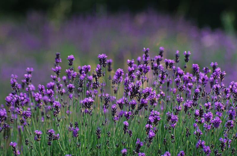 lavender ελεύθερη απεικόνιση δικαιώματος